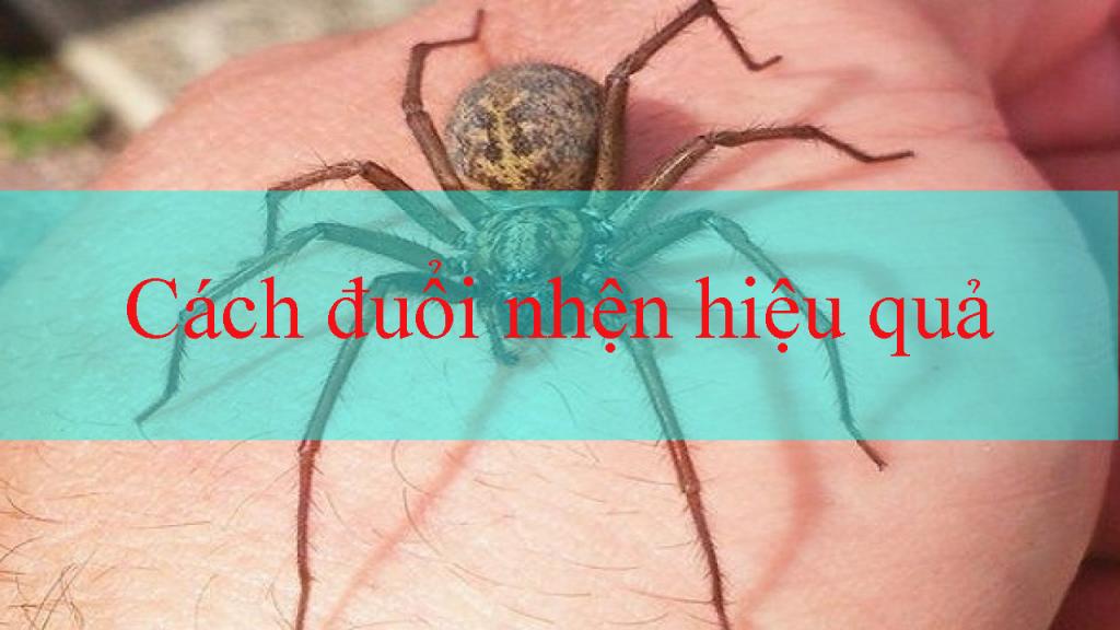 Cách đuổi nhện hiệu quả
