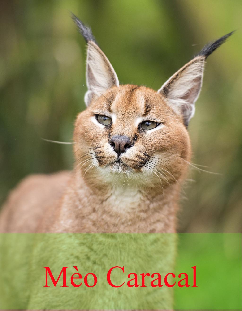 Linh miêu mèo Caracal