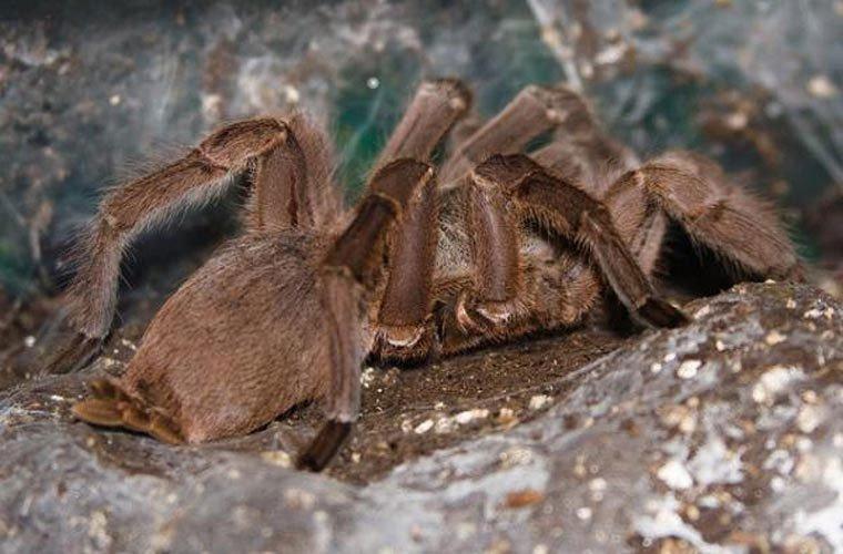 nhện chim Trung Quốc
