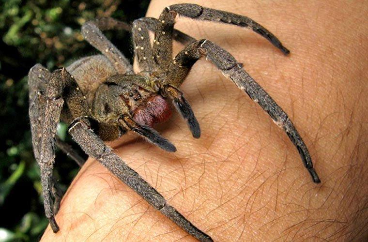 nhện lang thang brazil