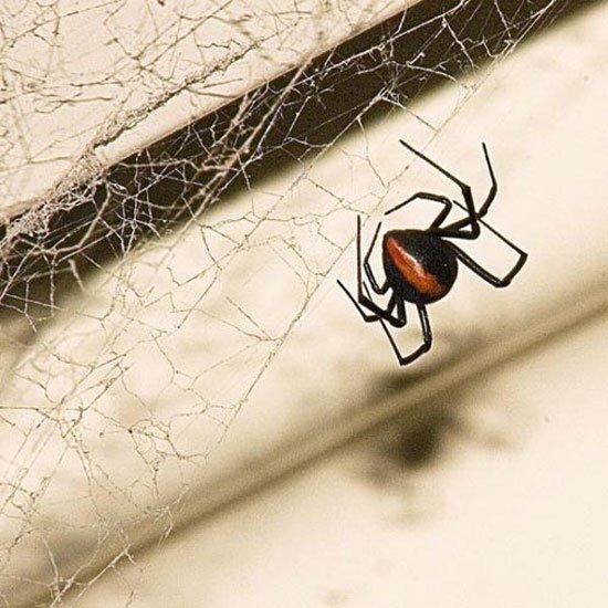 nhện lưng đỏ