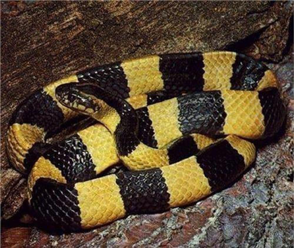 rắn cạp nia