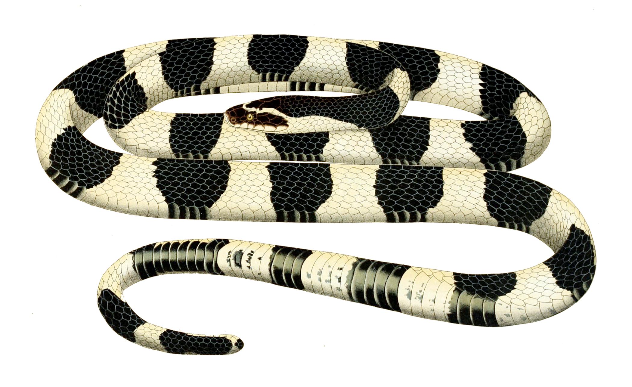 rắn cạp nong