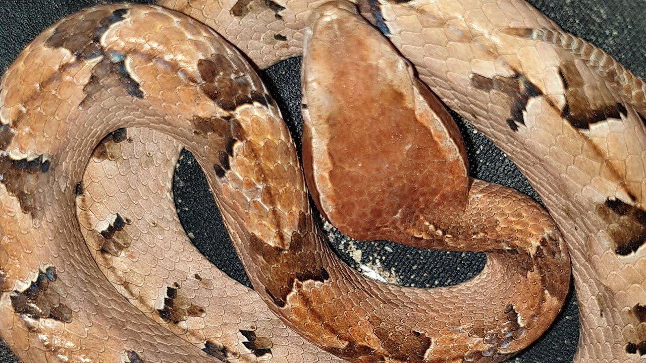 rắn chàm quạp
