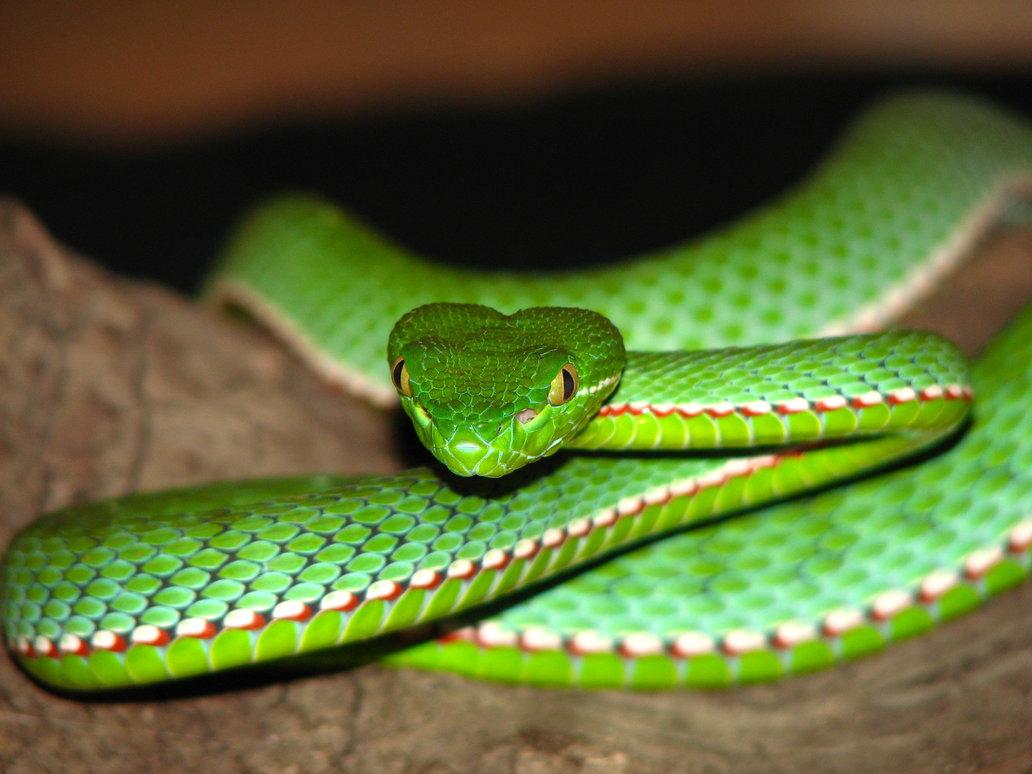 rắn lục miền nam