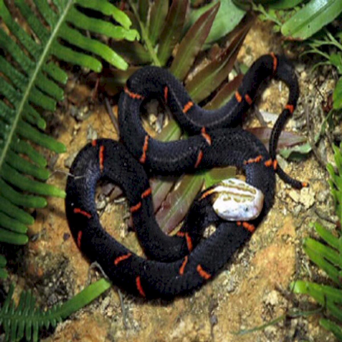 rắn lục trùng khánh
