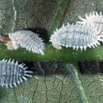 Khám phá cách diệt rệp trắng bằng nước rửa chén